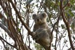Blue Mountains Koala near Wollemi House