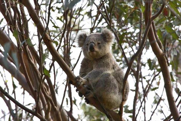 Blue Mountains Koala near Wollemi House